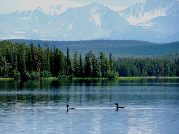 Loons on Tzetan Biny (Fish Lake)