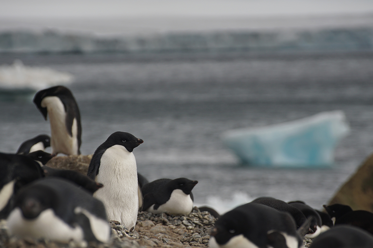 Adelie penguins (Maryann Watson)
