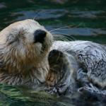 Otter (Photo: Dylan Wyman)